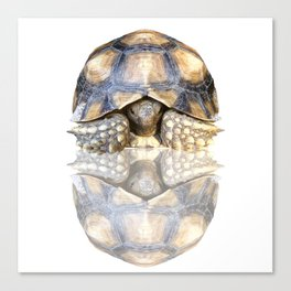 Sulcata Tortoise with Reflection Canvas Print
