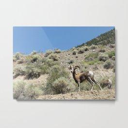 Bighorn Sheep 01 Metal Print