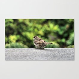 Little Feather Tasting Canvas Print