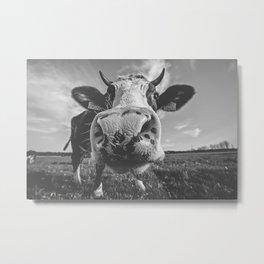 Inquisitive Cow Metal Print