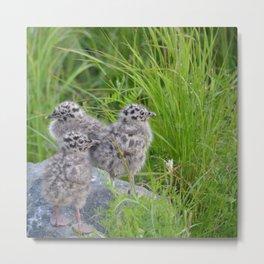 Triplets - Baby Seagulls Metal Print