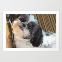 shih tzu Art Prints featuring Shih-tzu by Courtney Burns