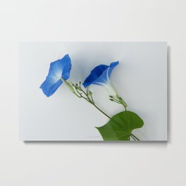 Good Morning Glory:  Fine Art Photo of Flowers in Bold Blue on White Metal Print