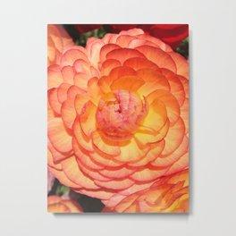 Vibrant Full Blooming Rose Metal Print