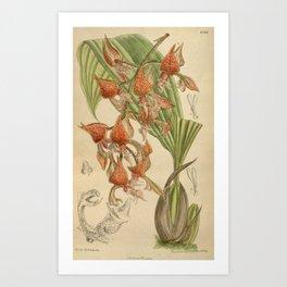 Gongora latisepala Art Print