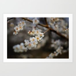 Korean Plum Blossoms Art Print