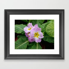 Purple primula at the park Framed Art Print