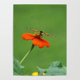 Butterfly on Orange Mexican Sunflower Poster