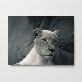 white lioness Metal Print