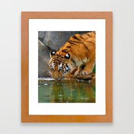 A thirsty Amur tiger. Framed Art Print