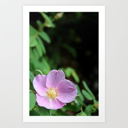 Light Pink Wild Rose Art Print