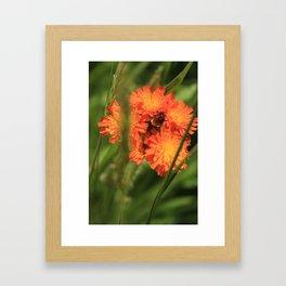 Orange Hawkweed Wildflowers Framed Art Print