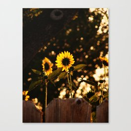 Texas Sunflowers Canvas Print