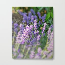Bumblebee 10 on lavender ahem honey bee actually Metal Print