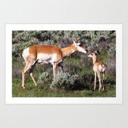 Pronghorn Mother and Baby Art Print