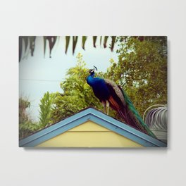 Off Rooftops, Only Peacocks Metal Print