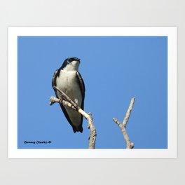 Male Tree Swallow Art Print