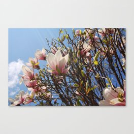 Magnolia Tree, Irvington NY Canvas Print