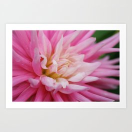 Pink Dahlia Bloom from Butchart Gardens Art Print