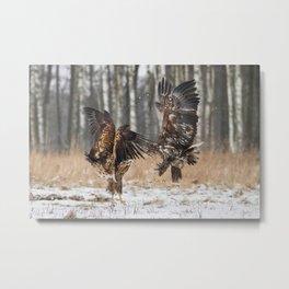 White-Tailed Eagles Metal Print