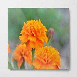 Garden Marigolds Metal Print