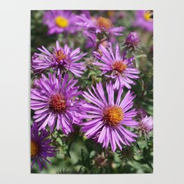 Autumn Amethyst - New England Aster flowers Poster