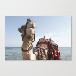 Red Sea Camel Canvas Print