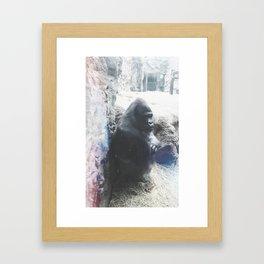 Grumpy Gorilla @ Buffalo Zoo in Buffalo, New York Framed Art Print