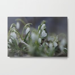 snow drop flowers with ice melting from them Metal Print