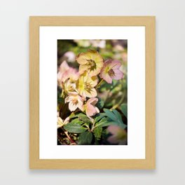 Helleborre pink flowering poisonus plant Framed Art Print