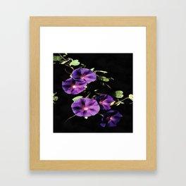 Morning Glory Flower Isolated On Black Framed Art Print