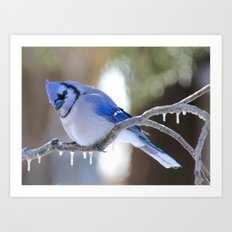 Curious Blue Jay Art Print