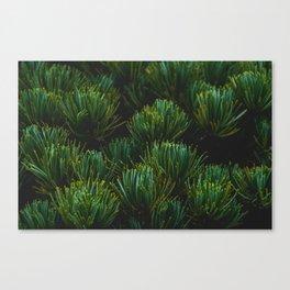 Bonsai  Canvas Print