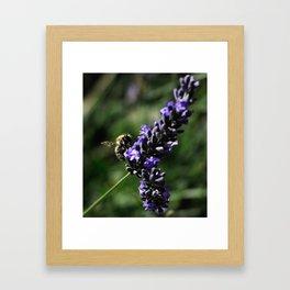 Bees on Lavender  Framed Art Print