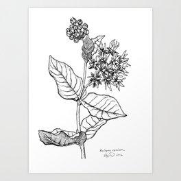 Showy milkweed Art Print