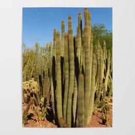 Organpipe Cactus Poster