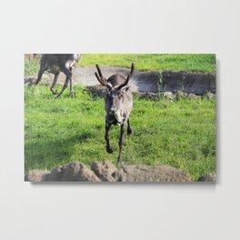 Caribou 1 Metal Print