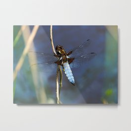 Broad-bodied Chaser Dragonfly Metal Print