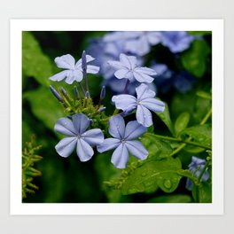 Plumbago After The Rain Art Print