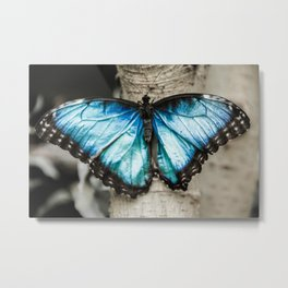 Black And White Blue Morph Butterfly Metal Print