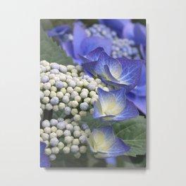 Blue Hydrangea Metal Print