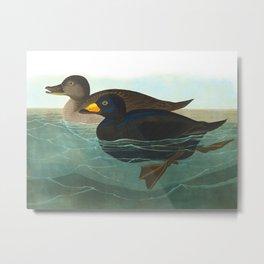 American Scoter Duck Audubon Birds Vintage Scientific Hand Drawn Illustration Metal Print