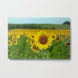 Yellow Sunflowers in Green Field Metal Print
