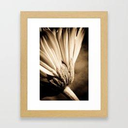 Sepia Gerbera Framed Art Print