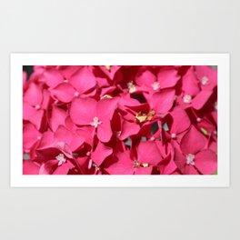 Pink Hydrangea Close Up Art Print
