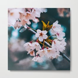 Cherry Blossoms Photograph. Metal Print