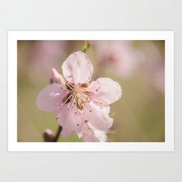Peach Blossoms 10 Art Print