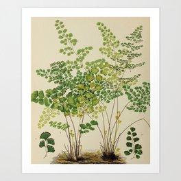 Maidenhair Ferns Art Print