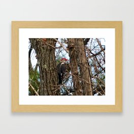Male Pileated Woodecker Framed Art Print