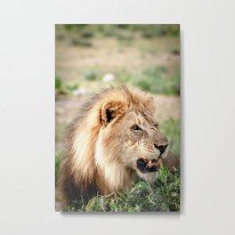 Alex the Lion - Namibia - TRAVEL PHOTOGRAPHY & LANDSCAPES Metal Print